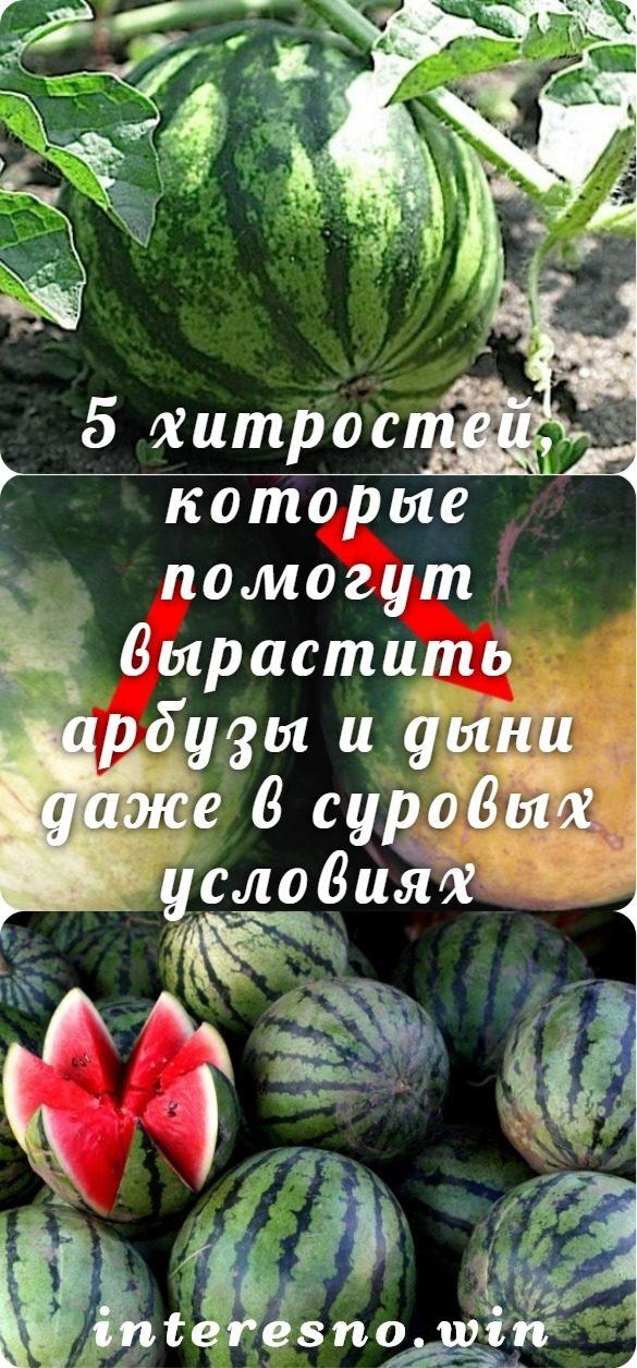 5-hitrostej-kotorye-pomogut-vyrastit-arbuzy-i-dyni-dazhe-v-surovyh-usloviyah-5079784