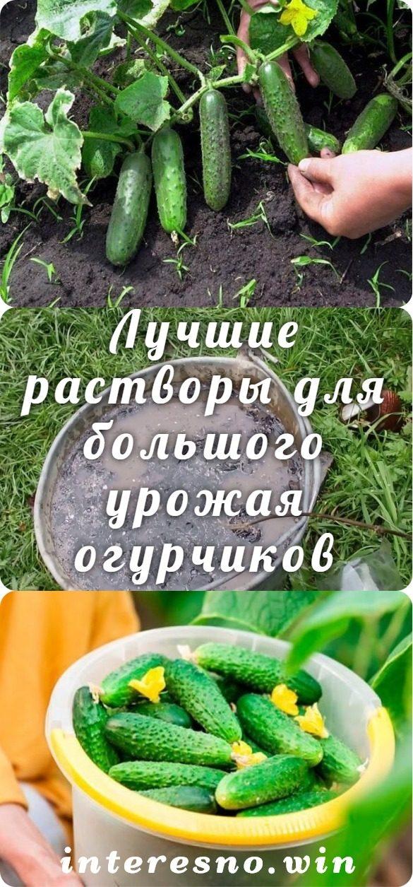 luchshie-rastvory-dlya-bolshogo-urozhaya-ogurchikov-4465711